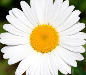 Белый и полезный цветок ромашка полевая